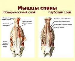 Мускули на гърба на човек: местоположение и функция, която..
